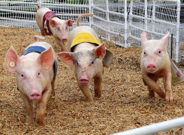 pig-race.jpg