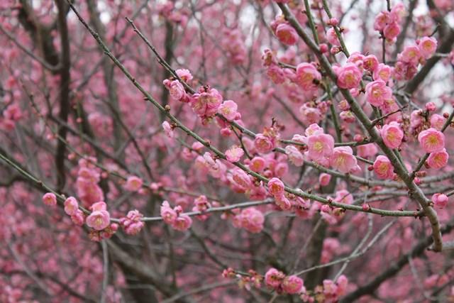 plum-blossom-04.jpg