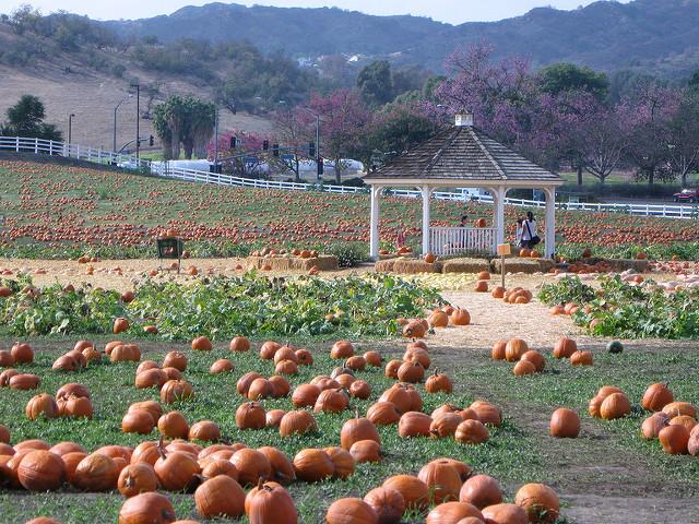pomona-pumpkin-patch.jpg