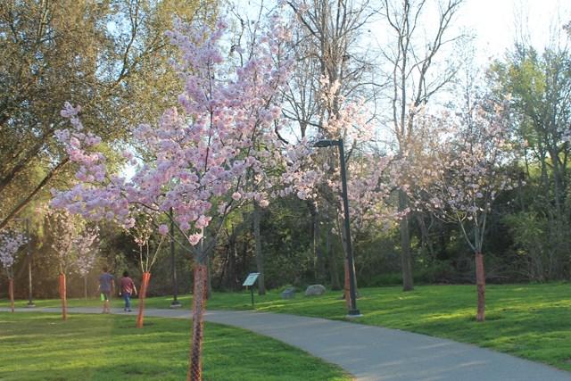 schabarum-park-cherry-blossom-02.jpg