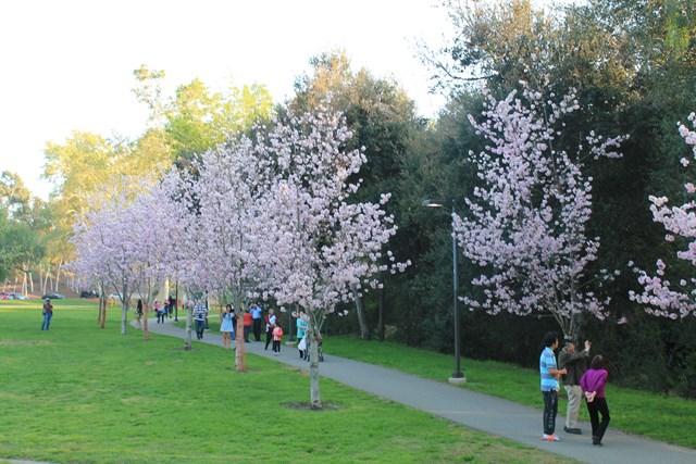 schabarum-park-cherry-blossom-08.jpg