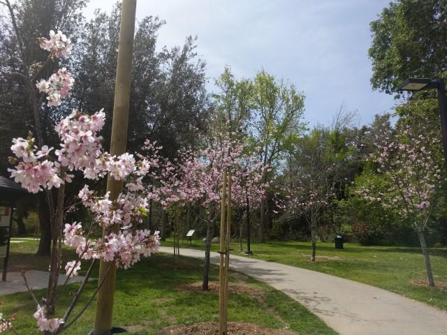 schabarum-park-cherry-blossom-11.jpg