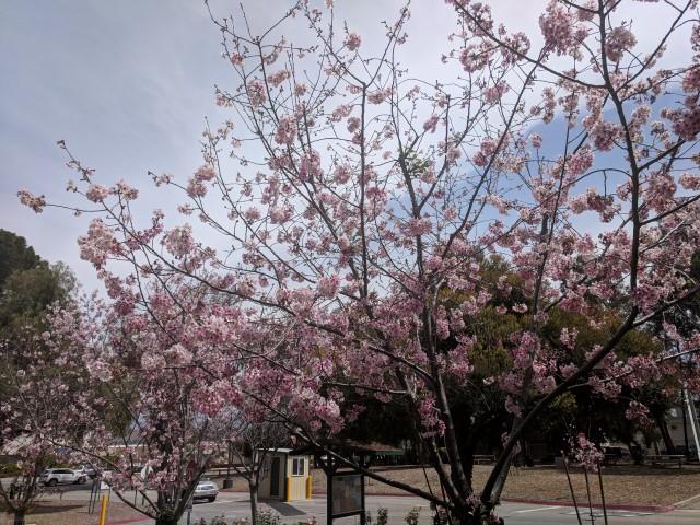 schabarum-park-cherry-blossom-12.jpg