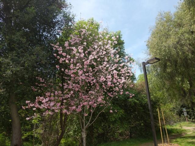 schabarum-park-cherry-blossom-13.jpg