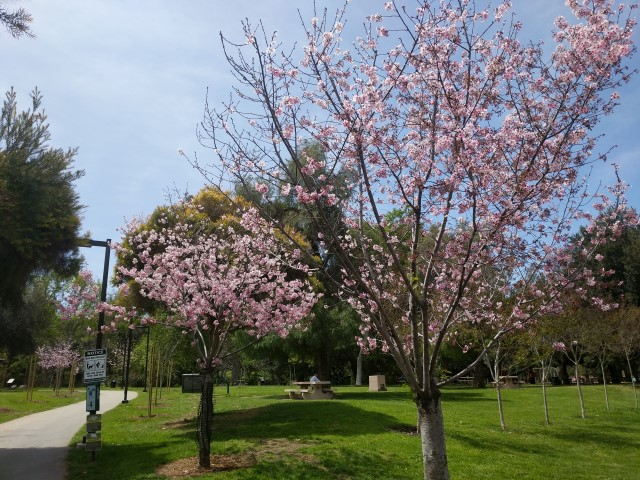 schabarum-park-cherry-blossom-14.jpg
