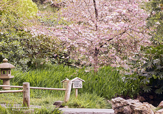 japanese-tea-garden-cherry.jpg