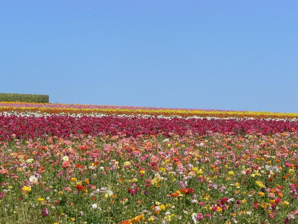 flower_field3.JPG