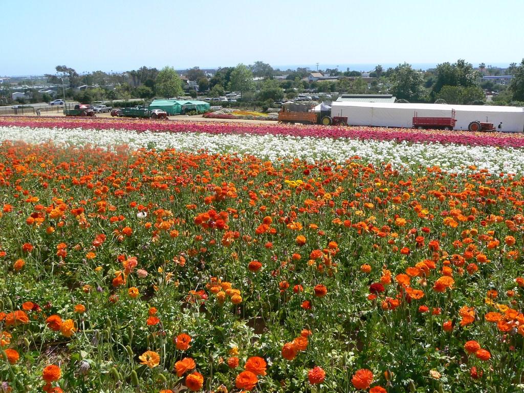 flower_field8.JPG