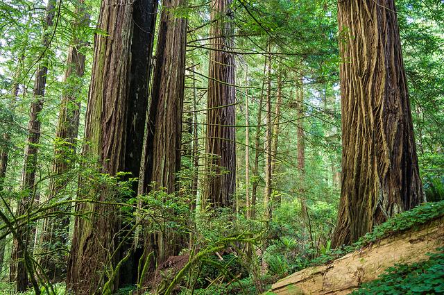 JedediahSmithRedwoods1.jpg