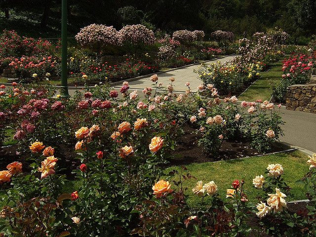 MorcomRoseGarden1.jpg