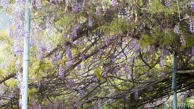 wisteria.jpg