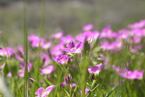 santa-rosa-flower.jpg