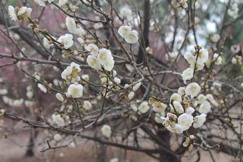 plum-blossom-02.jpg