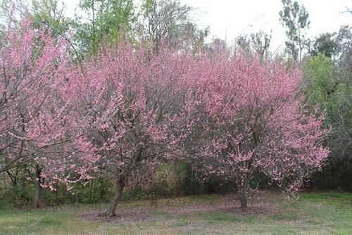 plum-blossom-03.jpg