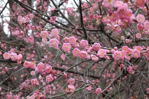 plum-blossom-07.jpg