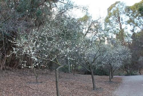 plum-blossom-08.jpg