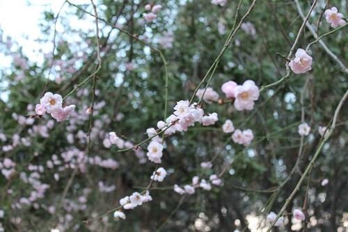 plum-blossom-09.jpg