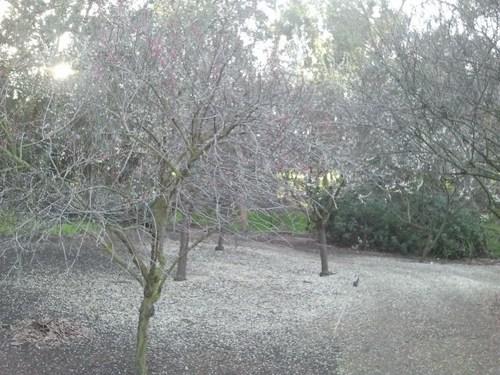 plum-blossom-10.jpg