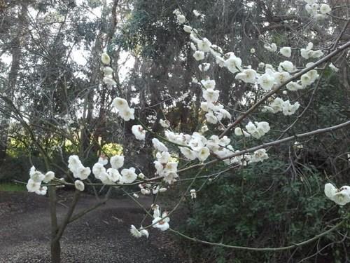 plum-blossom-11.jpg