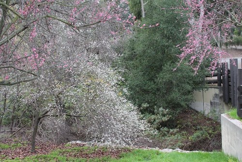 plum-blossom-12.jpg