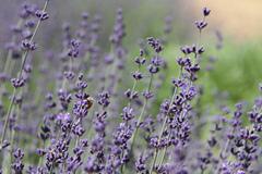 lavendar-festival.jpg