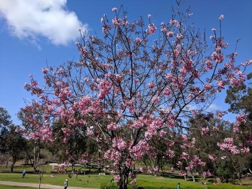 Central-Park-Cherry-04.jpg