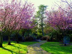 huntington-beach-cherry-blossom.jpg