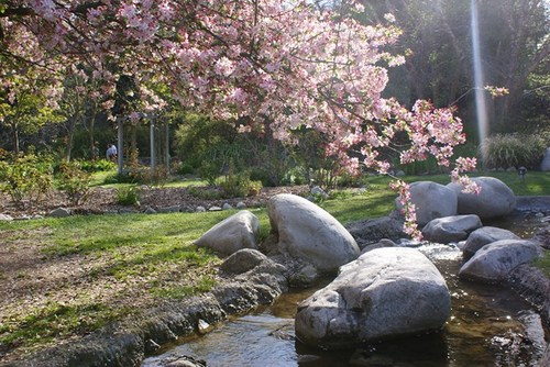cherry-blossom2.jpg