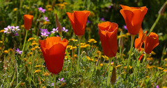 california-poppy.jpg