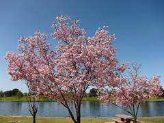 lake-balboa-cherry-blossom.jpg