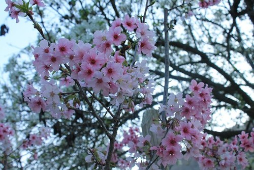 schabarum-park-cherry-blossom-06.jpg