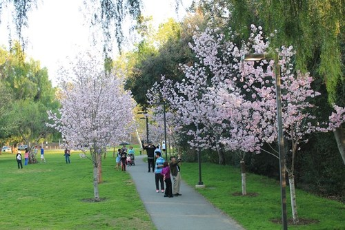 schabarum-park-cherry-blossom-07.jpg