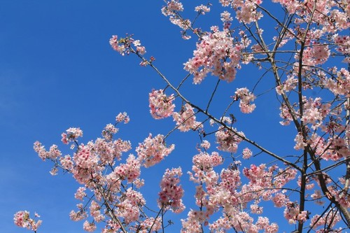 schabarum-park-cherry-blossom-09.JPG