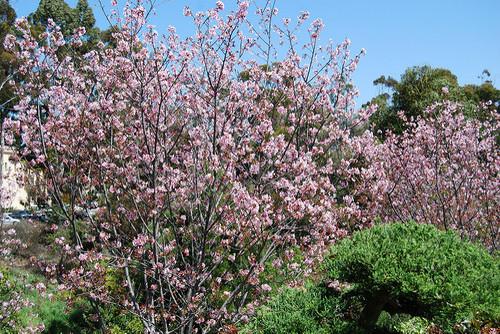 san-diego-cherry-blossom.jpg