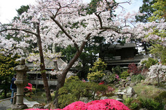 japanese-tea-garden-cherry-blossom01.jpg