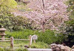 japanese-tea-garden-cherry.jpg