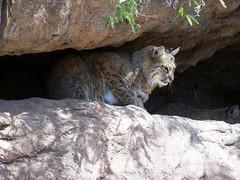 Arizona-Sonora_Desert_Museum.jpg