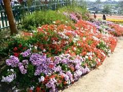 flower_field10.JPG