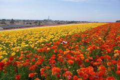 flower_field17.JPG