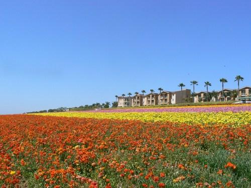 flower_field5.JPG