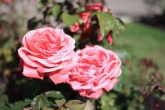 Morcom_Rose_Garden.jpg