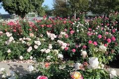 rose-garden7.JPG