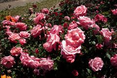 Heritage_Rose_Garden.jpg