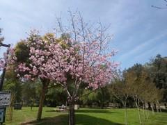 schabarum-park-cherry-blossom-10.jpg