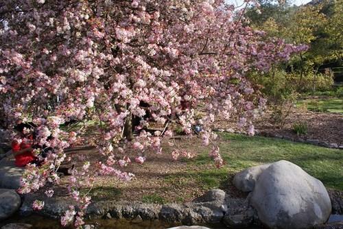 descanso_garden_cherry.jpg